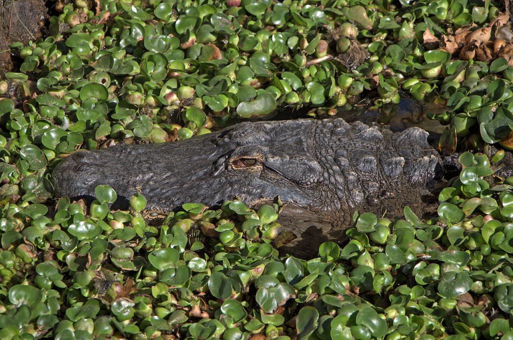 Alligator Mississippiensis by H Zell
